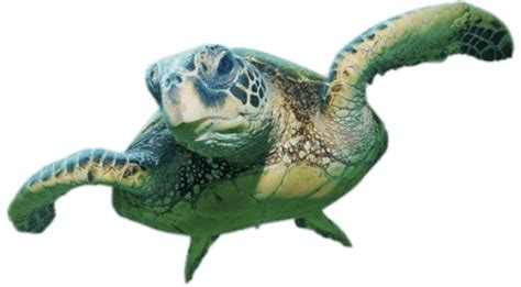 Sea Turtle Front View Transparent Png  Stickpng