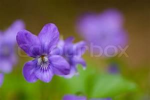 Pflanze Lila Blätter : viola natur blume violett feder blau pflanze lila kleine portr t gr n 1 hell ~ Eleganceandgraceweddings.com Haus und Dekorationen