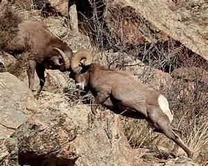 Big Horn Sheep Fighting