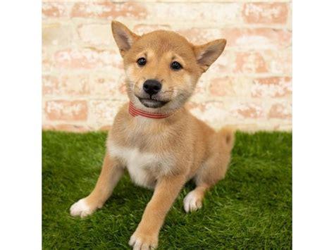 柴 shiba) is a breed of dog available in nintendogs and nintendogs + cats. Shiba Inu-DOG-Female-Red-2812931-Petland Topeka