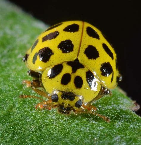 psyllobora vigintiduopunctata  spot yellow ladybird