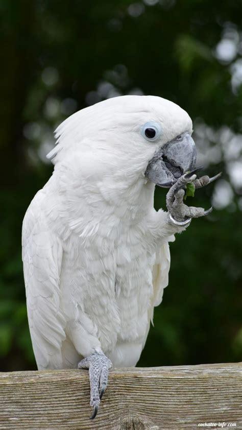 fresh food  cockatoos cockatoo infocom