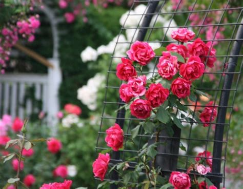 when to cut back climbing roses pruning climbing roses how to prune climbing roses