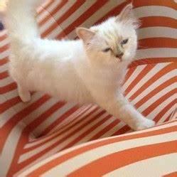 Choupette Chat Karl : choupette le chat star de karl lagerfeld people wamiz ~ Medecine-chirurgie-esthetiques.com Avis de Voitures