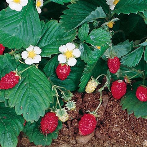 strawberry plants 95mm alpine strawberry plant bunnings warehouse