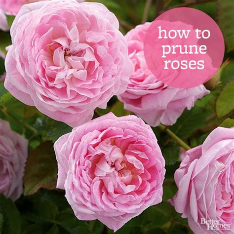 how to prune roses how to prune roses