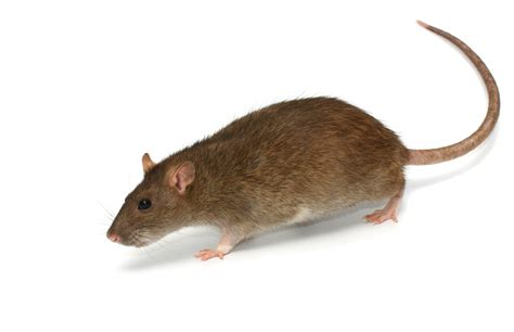 picture of a rat rat removal j h pest control