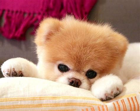 17 meilleures id 233 es 224 propos de chiots miniatures sur chiens tasse 224 th 233 petits