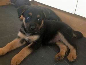 German shepherd rottweiler mix puppy pictures – Dog life photo