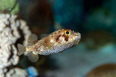 Porcupinefish Is The Obvious Winner