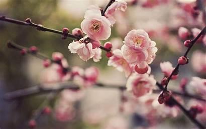 Blossom Cherry Desktop Backgrounds Background