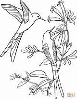Hummingbird Coloring Pages sketch template