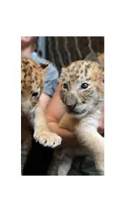 Children celebrate holiday season with a pair of liger ...
