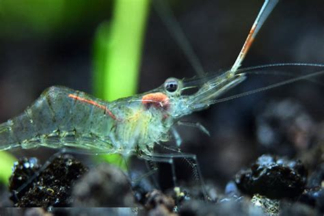 algae eating shrimp  freshwater aquarium ghost shrimp