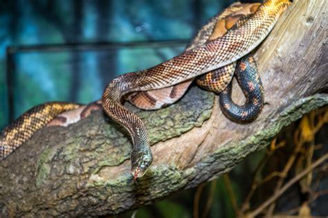 good news saving snakes helps   houston zoo