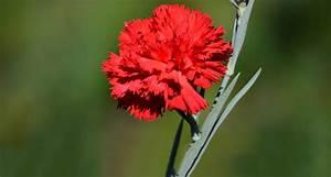 Ohio State Flower - Scarlet Carnation - ProFlowers Blog