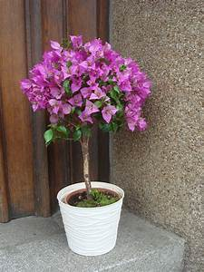 Comment Reconnaitre Un Hibiscus D Intérieur Ou D Extérieur : arbuste d ext rieur en pot pivoine etc ~ Dallasstarsshop.com Idées de Décoration