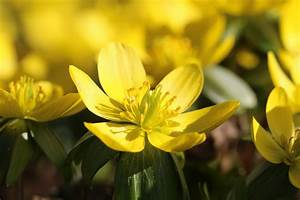 Balkonblumen Richtig Pflanzen : winterlinge eranthis hyemalis pflanzen und pflege ~ Frokenaadalensverden.com Haus und Dekorationen