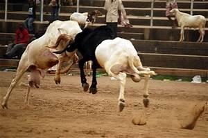 Sport Intelligence | Ram-Fighting In Nigeria:The Good, Bad ...