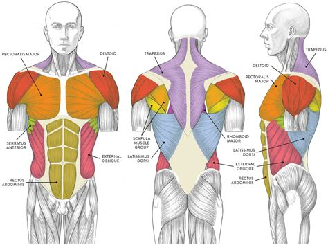 See more ideas about muscle diagram, medical anatomy, human anatomy and physiology. LEFT: Anterior view