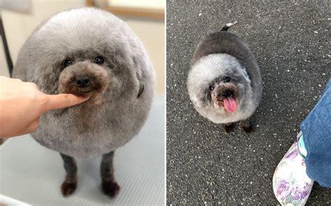 fluffy dog     groomer