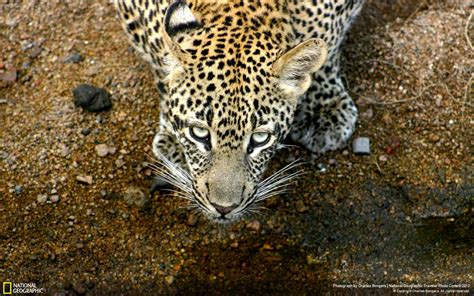 Leopard South Africanational Geographic Wallpaper