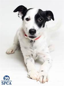 Dime (ID#23825088) 5 month old, male, white and black ...