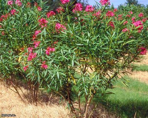 oleander   beautiful   toxic shrub hgtv