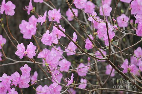large pink flowering bush pink flowering spring bush by ulli karner