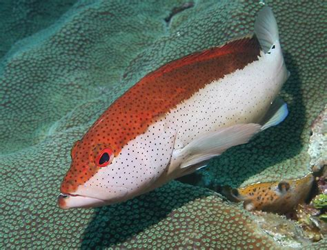 fish coney belize underwater cephalopholis fulva highlights caribbean 2009 line which pounds becomes dots reach row adults eye seaman richard