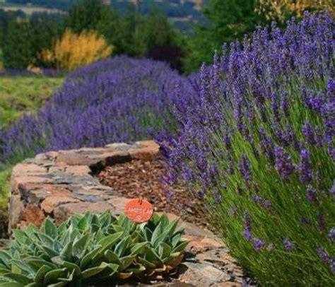 lavender care and maintenance maintenance garden home party page 2