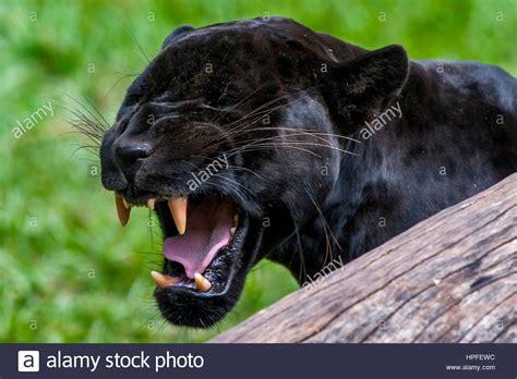 male black jaguar panthera onca  called panther
