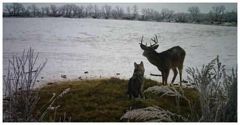 husky befriends deer  exploring manitoba wild