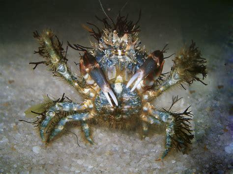 decorator hairy seaweed crab barwon bluff
