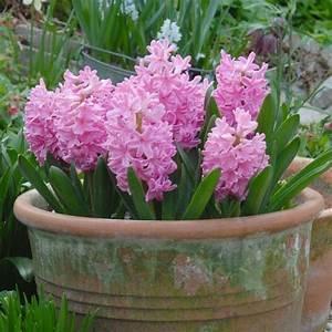 Pflanzkörbe Für Blumenzwiebeln : ber ideen zu hyazinthe auf pinterest pflanzzeit ~ Lizthompson.info Haus und Dekorationen