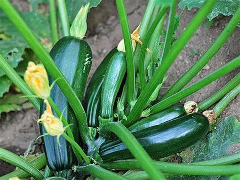 Vegetables To Grow In Winter Garden Winter Squash Photos