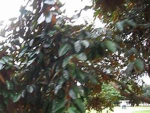 Chrysophyllum cainito Star Apple Tree With Fruit. - YouTube