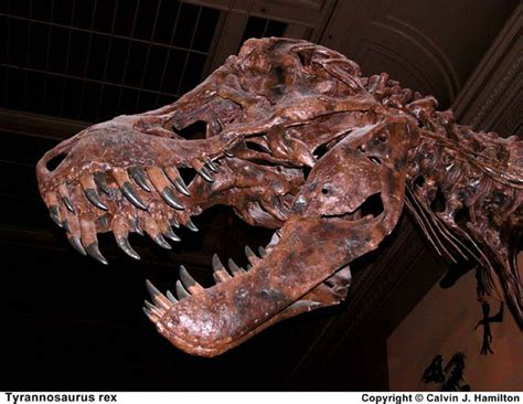 Tyrannosaurus Rex Facts About T Rex King Of The Dinosaurs