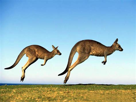 kangaroo wallpaper australian kangaroo animal wallpapers