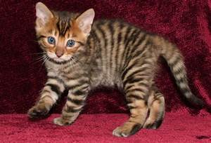 The Toyger Wallpapers | Animals Library