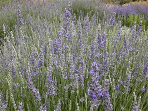 when should you plant lavender should i cut the dead flowers off of my lavender plant ehow