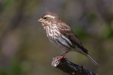 edge of the wildwood birding in tennessee purple finch