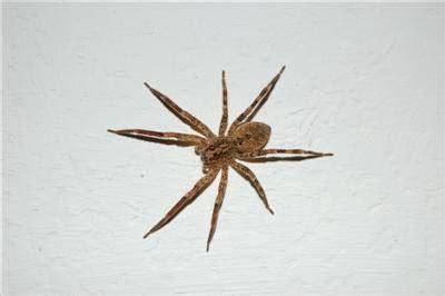 ragno in casa ragno casalingo varesenews