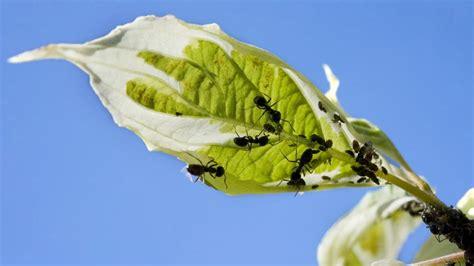 apparition de l homme moderne des fourmis quot agricultrices quot existaient bien avant l apparition de l homme moderne selon une 233 tude