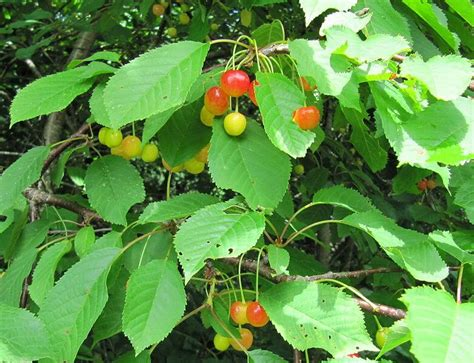 leaf tree with cherry like fruit wild cherry tree a native american necessity eat the planet