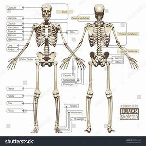 Where On The Diagram Is The Femoral Area  U2014 Untpikapps
