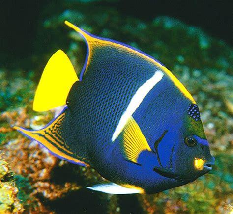 types  angelfish