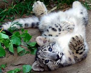 Snow Leopard - ThingLink