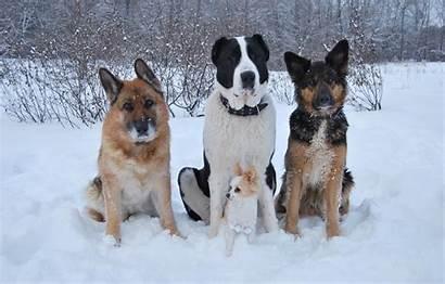 Alabai Winter Shepherd Dogs Chihuahua Snow Wallpapers