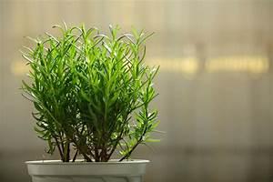 Balkon Bäume Im Topf : rosmarin auf dem balkon tipps zu sorte pflanzen pflege ~ Frokenaadalensverden.com Haus und Dekorationen